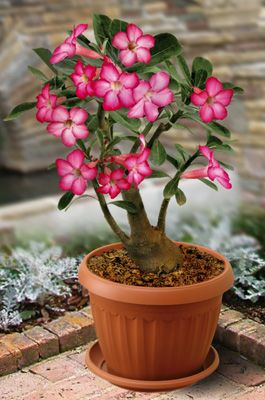 Desert Rose.  Very different and beautiful flowers