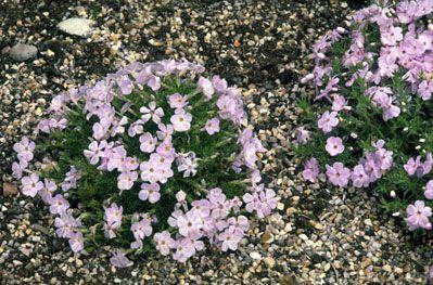 RHS Plant Selector Phlox douglasii 'Iceberg' AGM / RHS Gardening