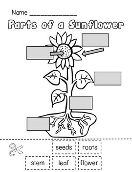 Parts of a Sunflower - Could do this the week we study Van Gogh's Sunflower paintings! Also, do plant unit that week!