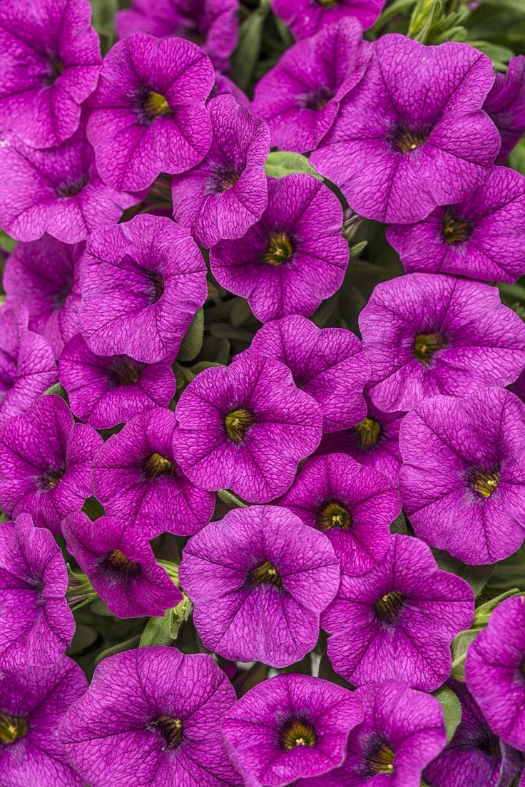 93 best images about calibrachoa on pinterest deep blue pomegranates and yellow. Black Bedroom Furniture Sets. Home Design Ideas