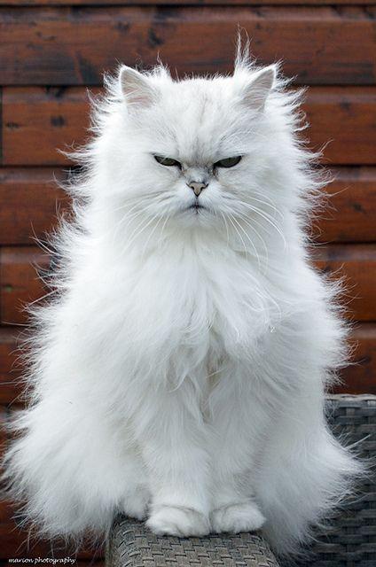 #cat #cats -- white beauty
