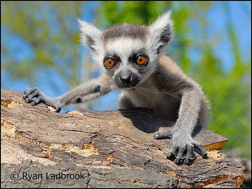 Images about lemurs 4 jay on pinterest madagascar plush and zoos