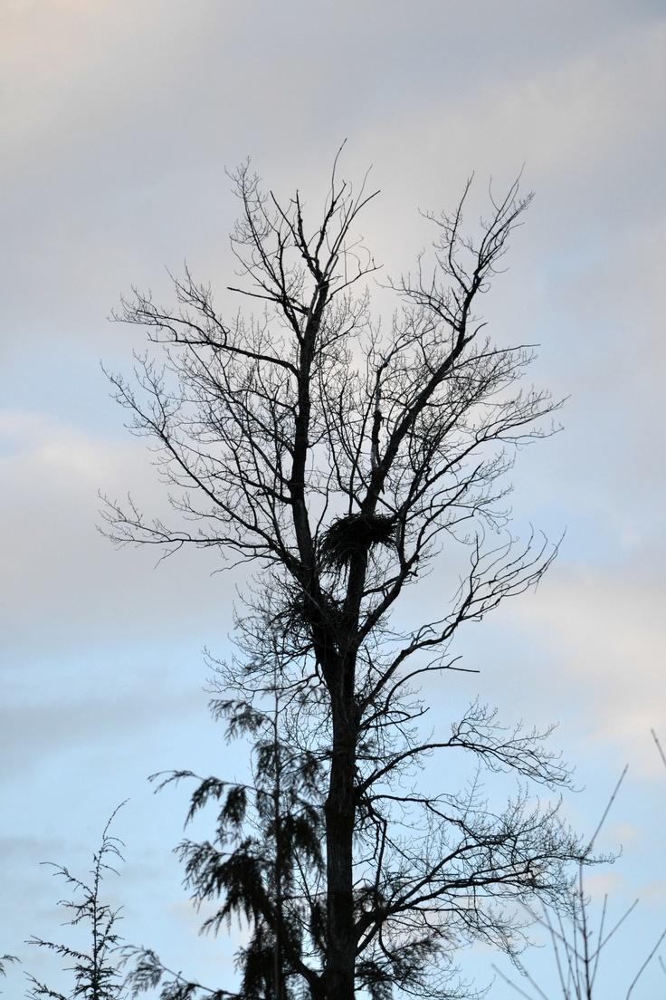 Eagle Tree at sunset
