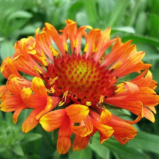 53 best blanket flower images on pinterest flower gardening fanfare blaze blanket flower mightylinksfo