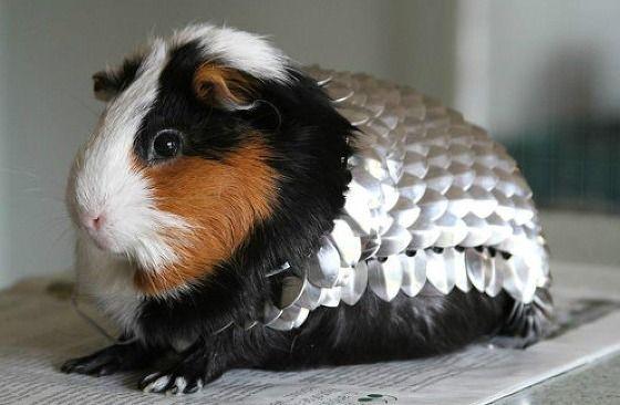 Une armure pour cochon d'Inde à 18 000€ ! - Vu sur le web - Jooky : Concours - Photos - Chiens - Chats - Animaux