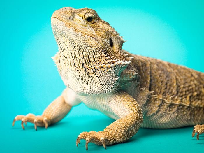 Pogona vitticeps, the scientific name for Bearded Dragons, are omnivorous because they originated from a habitat that is a characteristically hostile having very little for and water sources. That makes them easy to care for.