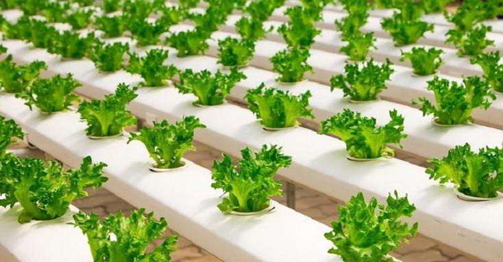 Cultivos hidropónicos, qué son y cómo hacer uno en casa - https://www.renovablesverdes.com/cultivos-hidroponicos-casa/