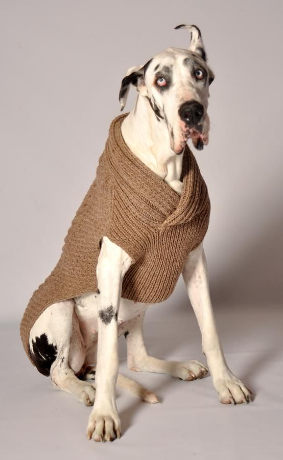 Shawl Collar Ragg Wool Dog Sweater. I just love this pic of this dog! I think my next one will be a Great Dane.