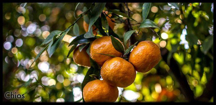 Mandarin in Kambos, Chios island-Greece