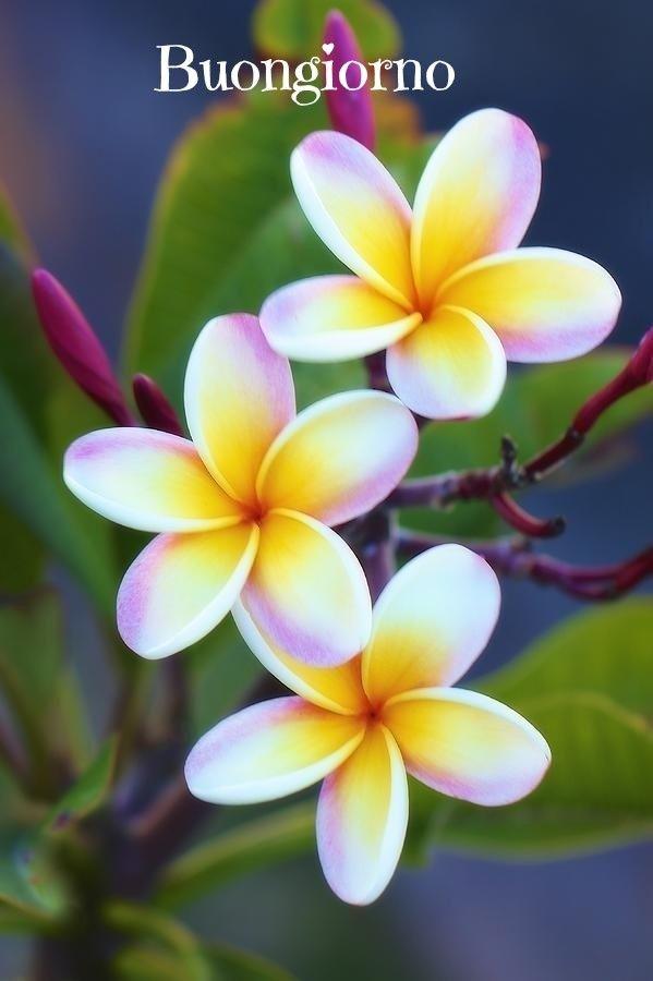 Tipi Di Fiori Bianchi E Gialli.Pin Di Marlene Fretes Su Buon Giorno Fiori Hawaiani Fiori