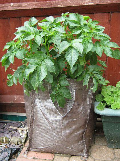 Dat is nog eens leuk: aardappels gewoon in een oude boodschappentas planten!