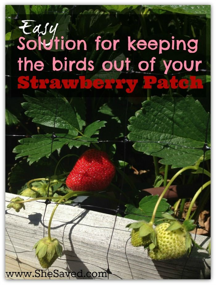 Garden Tip Easy Solution For Keeping The Birds Out Of Your Strawberry Patch Bird Gardens And