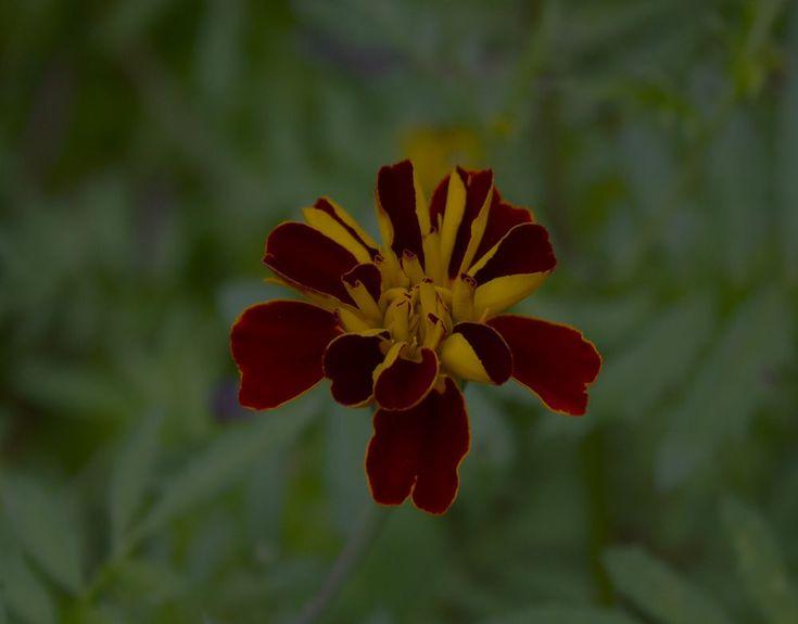 Oh Marigolds!!!! by LyndaRealmshift