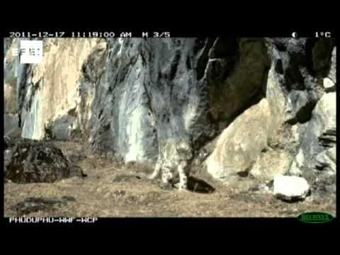 El Fondo Mundial para la Naturaleza (WWF) ha publicado las primeras fotos de un estudio realizado con el Gobierno de Bután para censar y garantizar la conservación de los leopardos de las nieves, una especie en peligro de extinción.