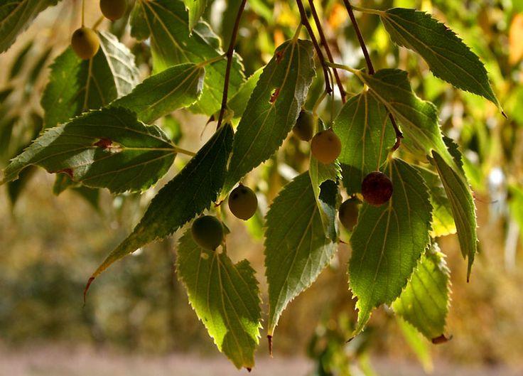lledoner(celtis australis) PER:camila i genesis  És un arbre  arrodonit i molt ramificat, el seu tronc és dret i amb l'escorça llisa i de color gris, pot arribar a fer 25 m d'altura. Les fulles  són simples i la punta torçada i allargada. Les flors  són petites i molt pedunculades, de color verd-groguenc i apareixen entre abril i maig . El fruit és  comestible i es diu lledó.Es petit ,rodó i llis .Es verd abans de madurar i  negre, quan madura