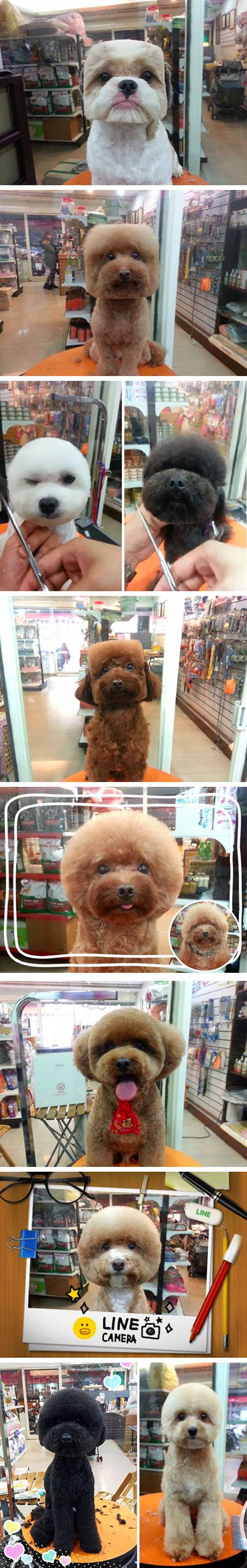 "The latest trend among dog owners in Taiwan looks just as funny as it sounds – square and round dog haircuts! Dogs, typically Poodles, are having the fur on their heads sculpted into perfect circles or squares, and the results are posted online in what might be the first ""my dog has a rounder head than yours"" competition ever."