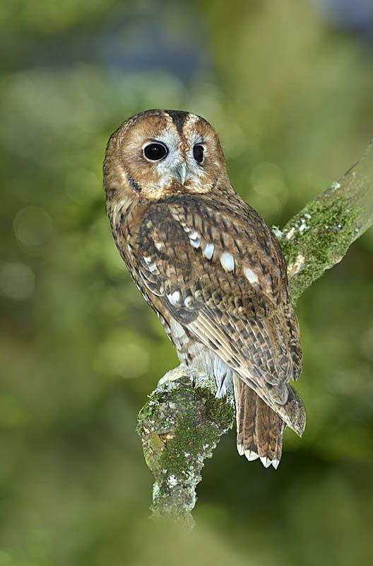 Tawny Owl - Strix aluco. Copyright Paul Sterry/Nature Photographers Ltd