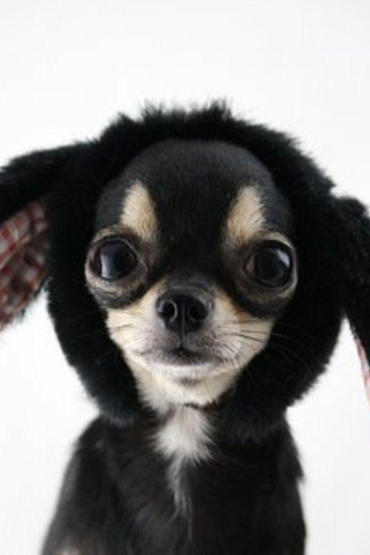 #Animals #Wildlife #Birds #Hawk #Pets #Chihuahua