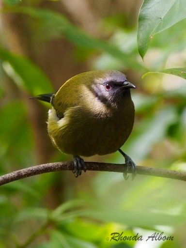 Bellbird, endemic to New Zealand  - could be the Angry  Birds Model