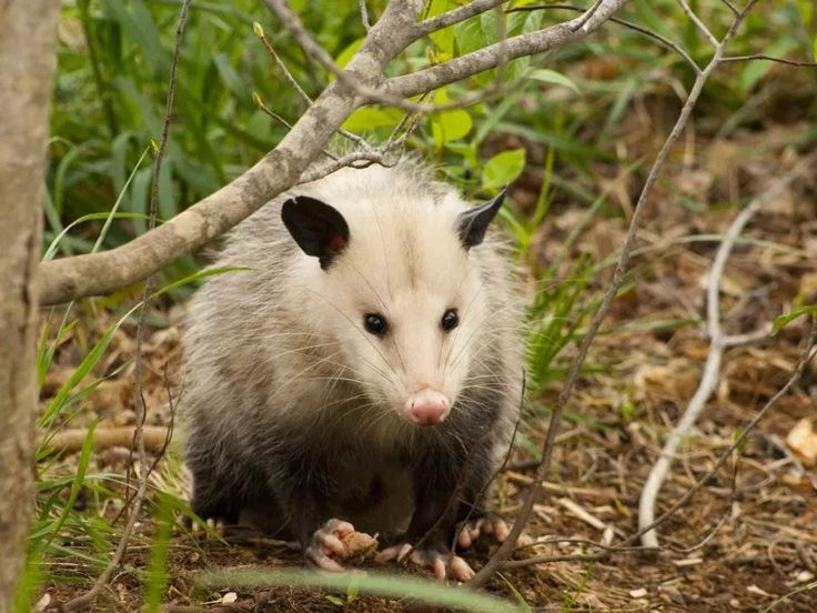 How To Get Rid of a Possum in Your Yard (With images