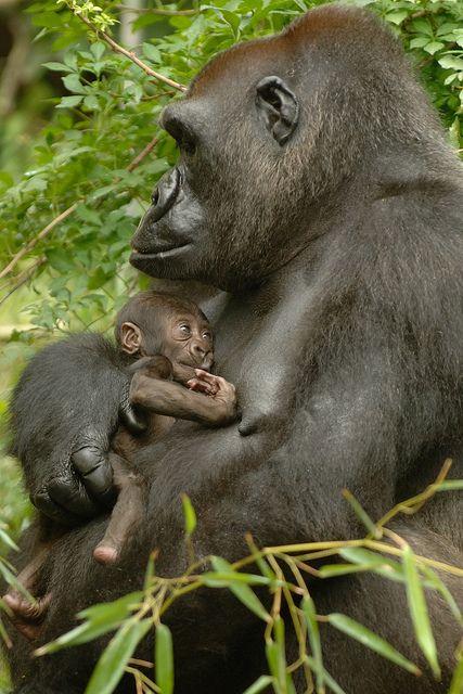 Gorilla with newborn baby #wildlife