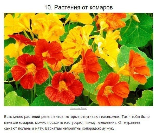 10 отличных советов для тех, у кого есть дача.растения от комаров муравьев