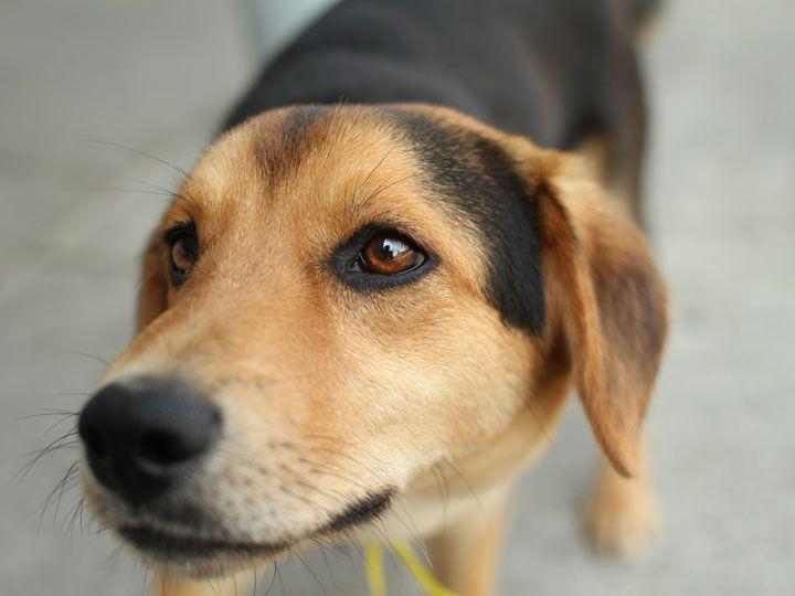 1 Year Female Beagle Cross Dog For Adoption: Beagle Poodle Mix For Adoption
