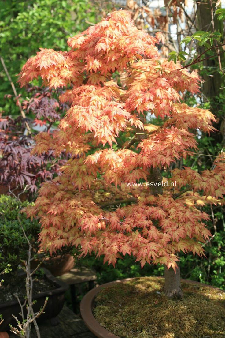 92 best Japanese Maples images on Pinterest Acer palmatum