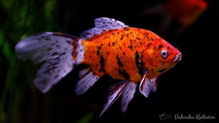 Wolonka - Welon Ryba nadająca się do hodowli zarówno w dużych akwariach jak i oczkach wodnych.