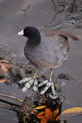 American Coots swim like ducks, but they do not have the webbed feet of that species. Their toes have broad lobes of skin that allow it to easily move through water. The lobes fold back when the bird lifts its foot while walking to facilitate moving on dry land, but it still supports the bird's weight on muddy land. Nine American Coots were found in Central Park in this year's Bird Count.