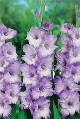 Gladioli Blue Frost - Corms