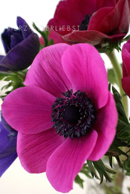 Anemone SUCH A SHAME THAT SUCH A MAGNIFICENT FLOWER HAS A NAME WHICH SOUNDS  LIKE 'AN ENEMY!!'