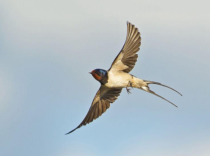 Boerenzwaluw. Volgens een legende heeft de duivel een stuk hout naar de zwaluw gegooid, die daardoor een deel van z'n staart moest missen.