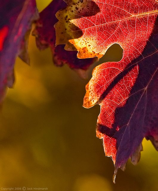 Love the warm, rich, timeless jewel tones of this autumn leaf close-up. #autumn #leaves #fall