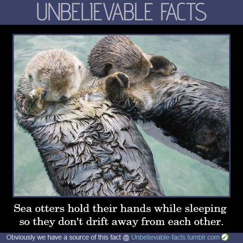 Sea Otters Hold Hands While Sleeping So They Dont Drift -9182