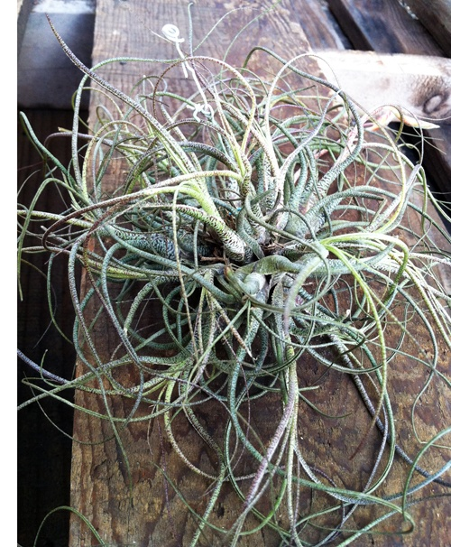 17 Best Images About Wedding Tillandsias Air Plants For