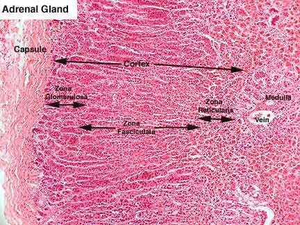 adrenal gland labeled