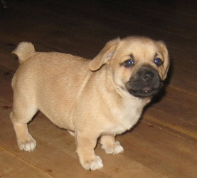 Corgi Pug Puppies is an adoptable Welsh Corgi Dog in Chesterfield, MO. We only adopt to the Greater St. Louis Area. No exceptions. We have beautiful little Corgi/Pug puppies! Mama is a lovely Corgi gi...