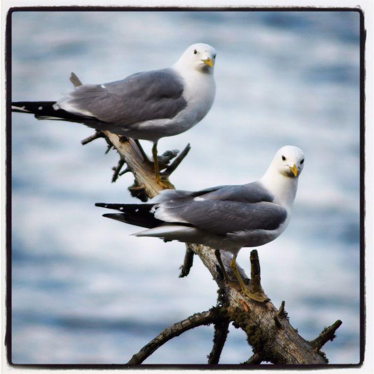 Mrs and Mr common gull.