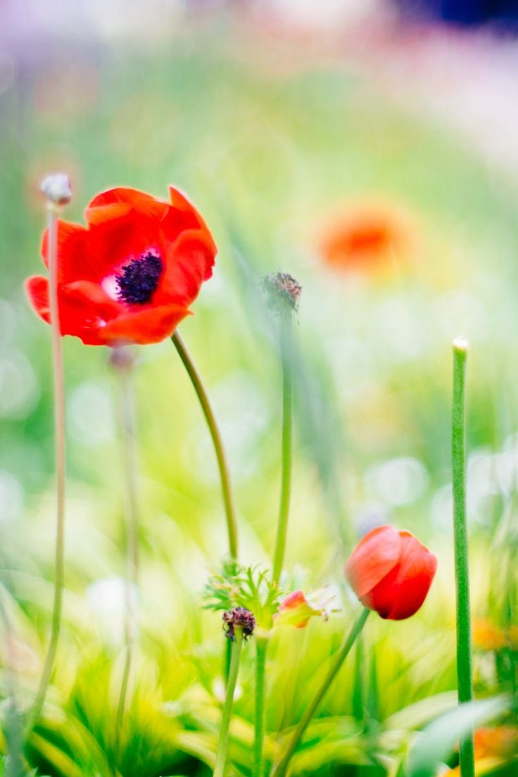 Poppy flower field at night royalty free stock photography image - Free Stock Photo Of Nature Flowers Petals Plant