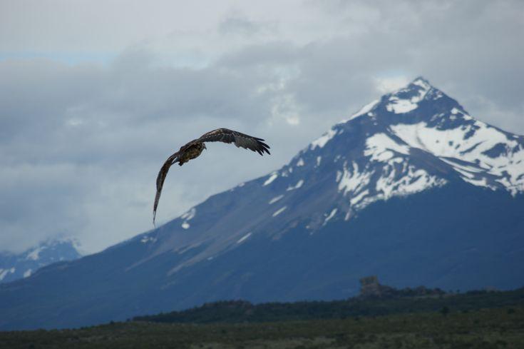 Aguila chilena