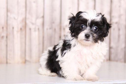 Zuchon puppy for sale in MOUNT VERNON, OH. ADN-49125 on PuppyFinder.com Gender: Male. Age: 9 Weeks Old
