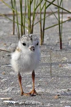 summer cutie: Sands Piper, Shore Birds, Baby Animal, Adorable Baby, Beautiful Birds, Birdies Told, Beaches Baby, Baby Birds, Animal Birds