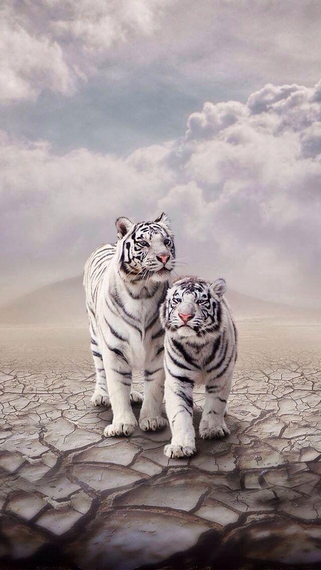 White tigers                                                                                                                                                                                 Mais