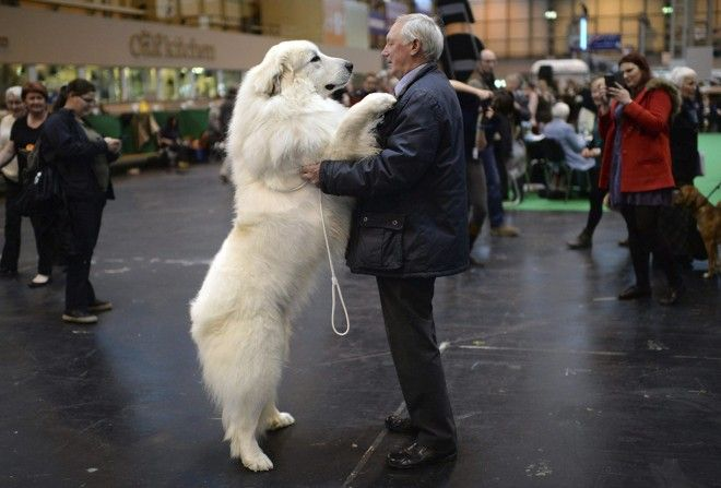 Reino Unido abre a maior exposição de cães do mundo | Mundo | Gazeta do Povo