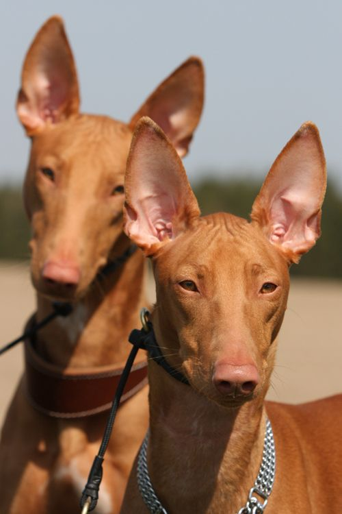 Breed: Pharaoh Hound... I really want one of these beautiful dogs!