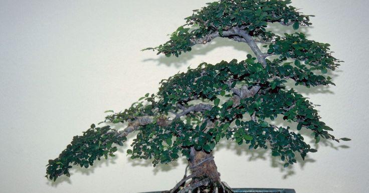 Como podar um Ficus ginseng . O Ficus ginseng é uma pequena árvore ornamental, geralmente usada na arte do bonsai. A planta tem uma forma característica em que a base de seu tronco ramifica-se em múltiplas seções acima da terra. Esses apêndices são parecidos com a raiz da planta do ginseng, que é de onde provém o nome da árvore. Ela originou-se das regiões tropicais da Ásia, ...