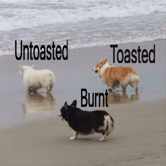 Corgi dogs showing different  levels of toastyness.