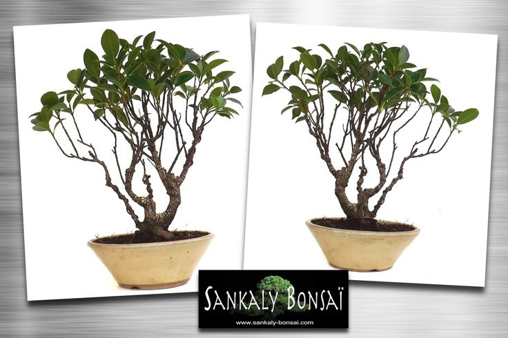 1000 ideas about bonsai ficus on pinterest bonsai jade bonsai and bonsai trees. Black Bedroom Furniture Sets. Home Design Ideas