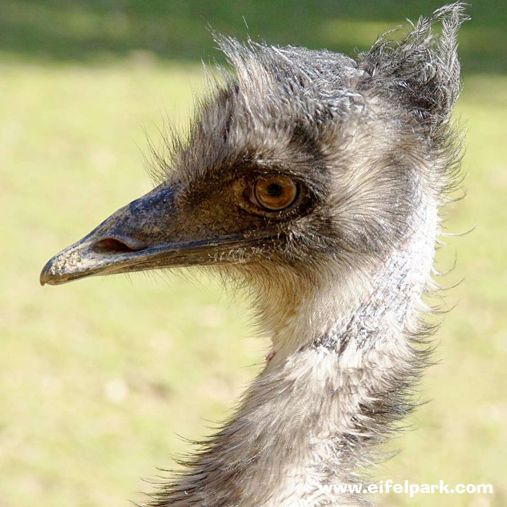 Emu #emu #eifelpark